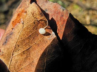 Hemimycena mauretanica Автор: Александр Гибхин