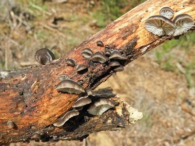 Hohenbuehelia cyphelliformis Автор фото: Александр Гибхин