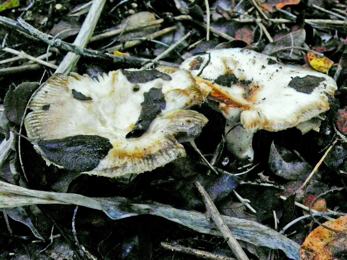 Сыроежка гребенчатая (Russula pectinata) Автор фото: Александр Гибхин