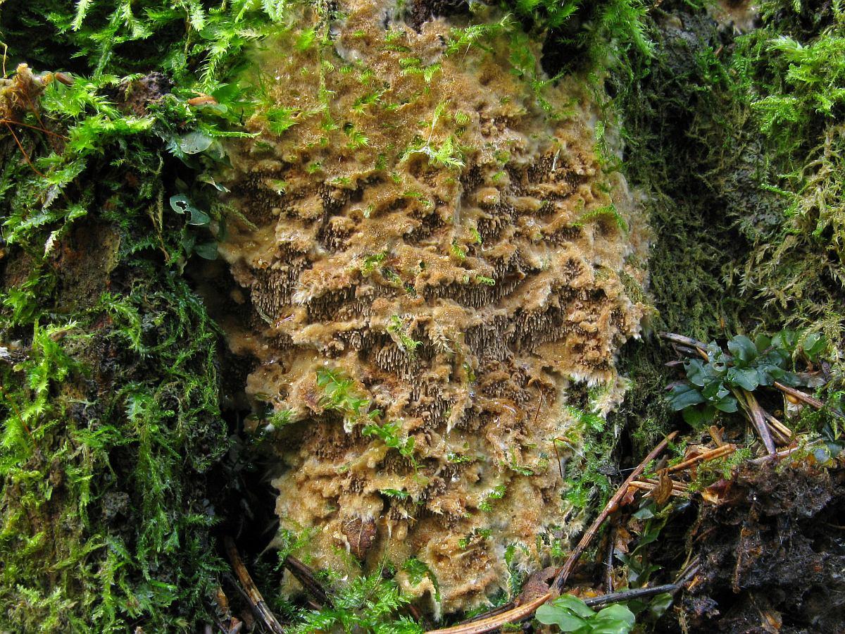 Asterodon ferruginosus. Автор фото: Салават Арсланов