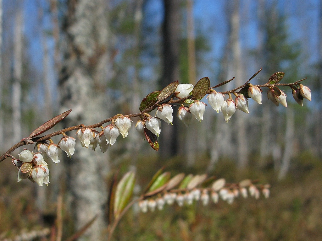 Chamaedaphne calyculata. Автор фото: Салават Арсланов