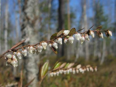 Хамедафне прицветничковая (Chamaedaphne calyculata). Автор: Салават Арсланов