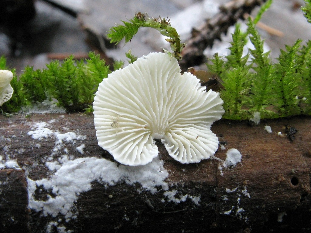 Cheimonophyllum candidissimum. Автор фото: Салават Арсланов