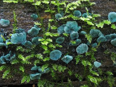 Хлороцибория сине-зеленая - Chlorociboria aeruginascens Автор фото: Салават Арсланов