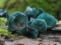 Chlorociboria aeruginascens