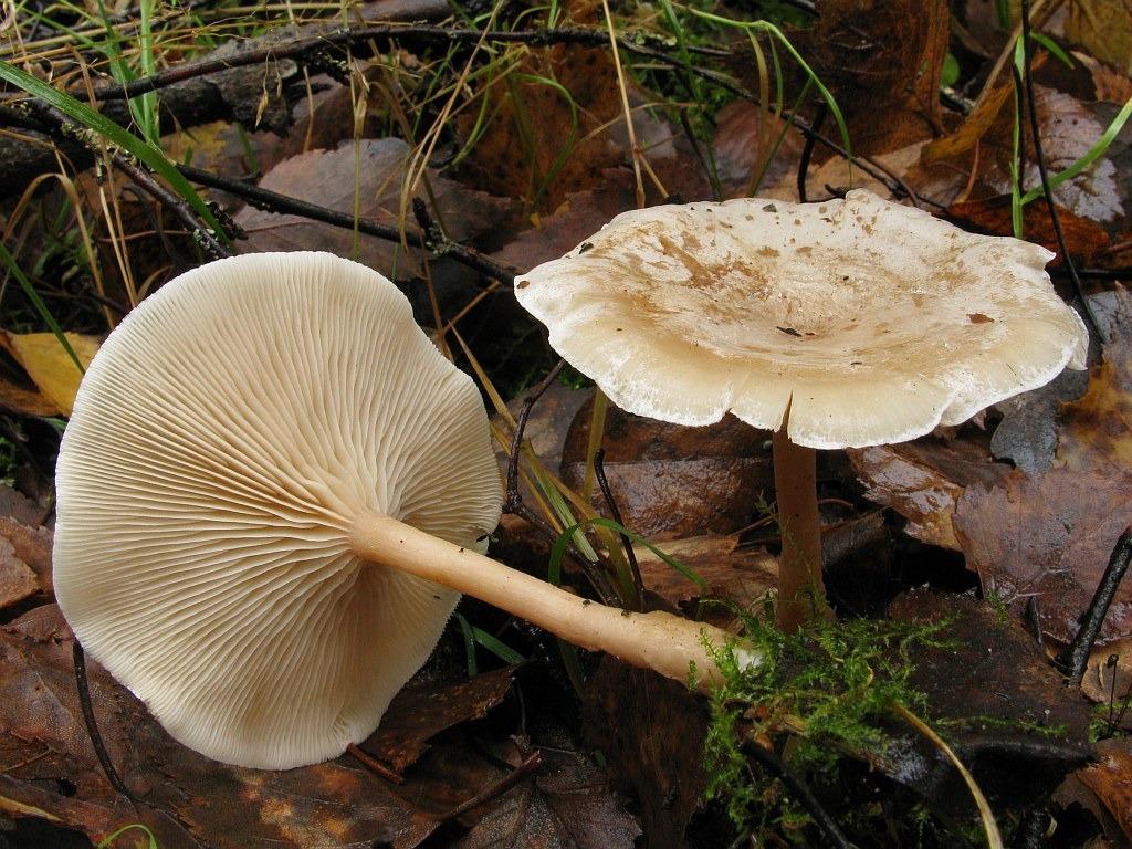 Clitocybe regularis. Автор фото: Салават Арсланов