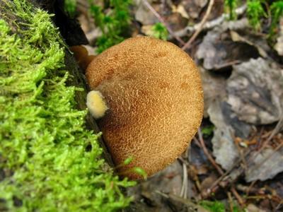 Крепидот шафрановопластинчатый - Crepidotus crocophyllus Автор фото: Салават Арсланов