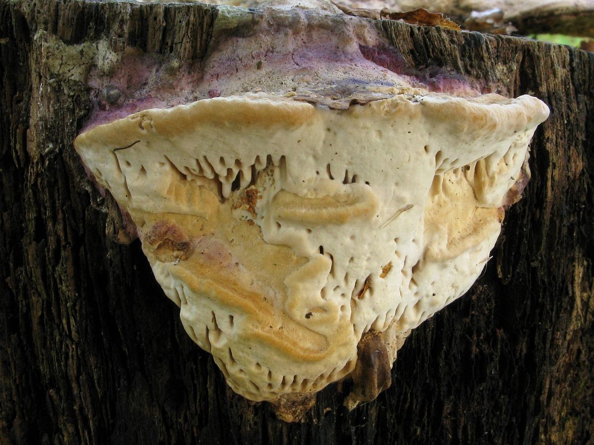 Daedalea quercina. Автор фото:Салават Арсланов