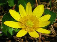 c:желтые,s:травянистые,d:в сырых местах,лепестков 7 и более,околоцветник актиноморфный