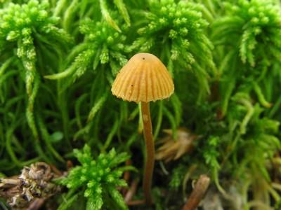 Галерина моховая - Galerina hypnorum Автор фото: Салават Арсланов