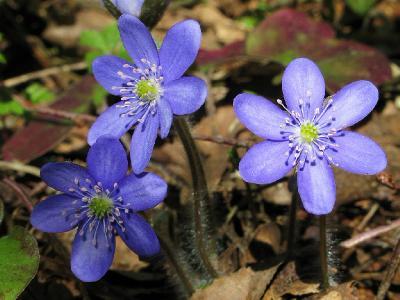 Hepatica nobilis. Автор фото: Салават Арсланов