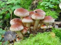 Ложноопёнок кирпично-красный (Hypholoma sublateritium)