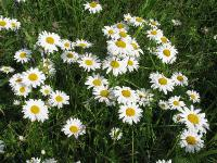 c:белые,s:травянистые,соцветия - корзинки