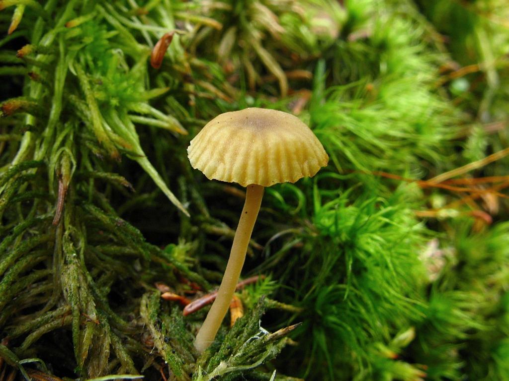 Lichenomphalia umbellifera. Автор фото: Салават Арсланов