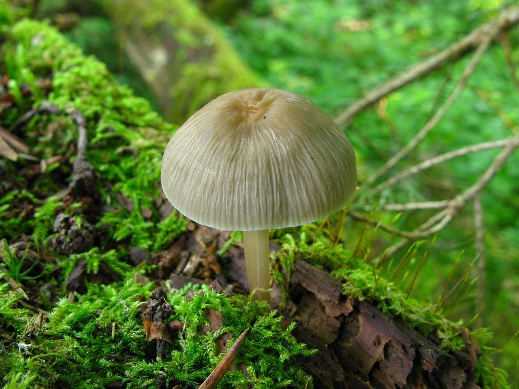 Mycena galericulata. Автор фото: Салават Арсланов