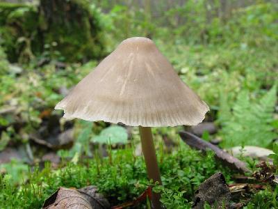 Мицена колпаковидная - Mycena galericulata Автор фото: Салават Арсланов