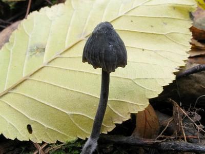 Мицена молочная черная - Mycena galopus var. nigra Автор фото: Салават Арсланов