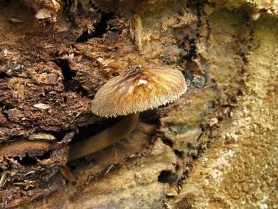 Плютей умбровый – Pluteus umbrosus Автор фото: Салават Арсланов