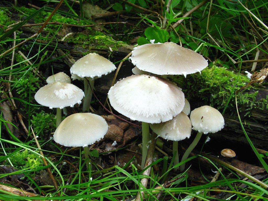 Psathyrella candolleana. Автор фото:Салават Арсланов
