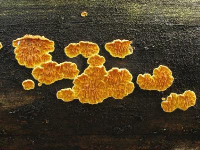 Псевдомерулиус золотистый - Pseudomerulius aureus Автор фото: Салават Арсланов