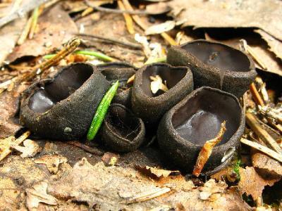 Псевдоплектания черноватая (Pseudoplectania nigrella). Автор фото: Салават Арсланов