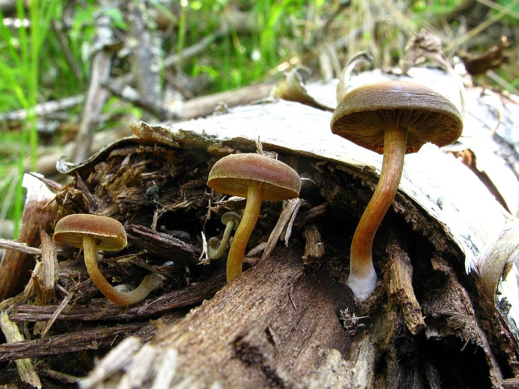 Simocybe centunculus. Автор фото: Салават Арсланов