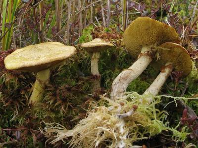 Suillus flavidus - Масленок болотный Автор фото: Салават Арсланов