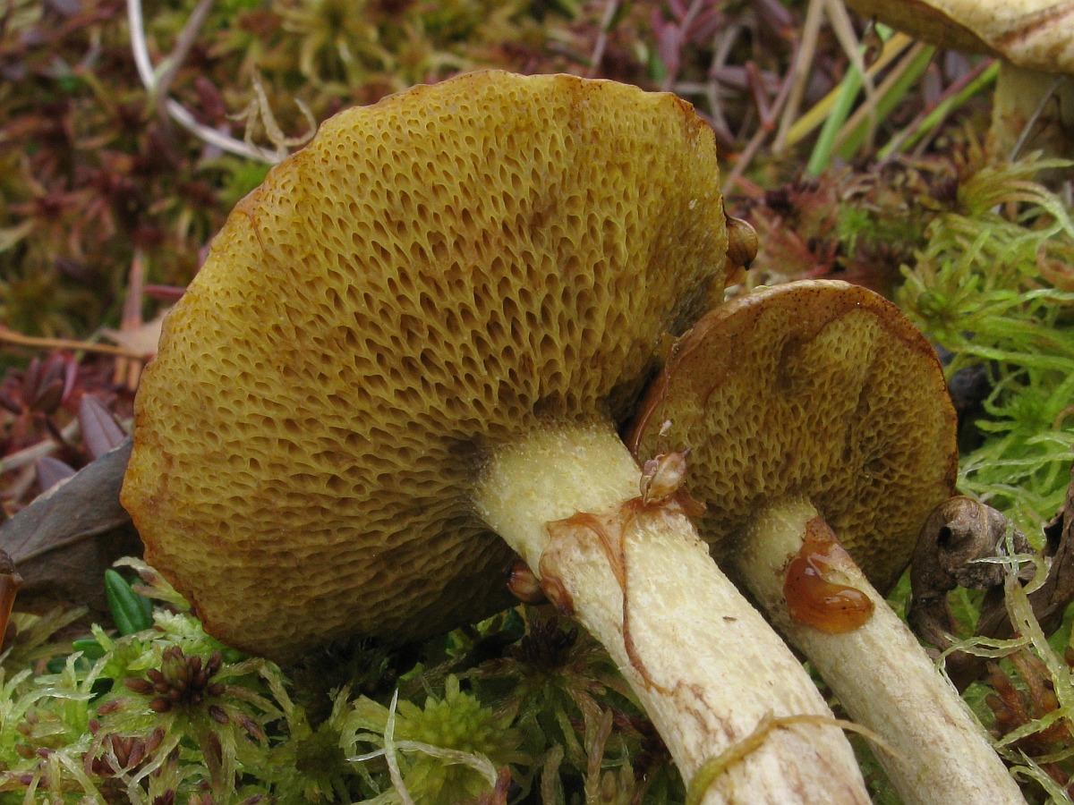 Suillus flavidus. Автор фото: Салават Арсланов