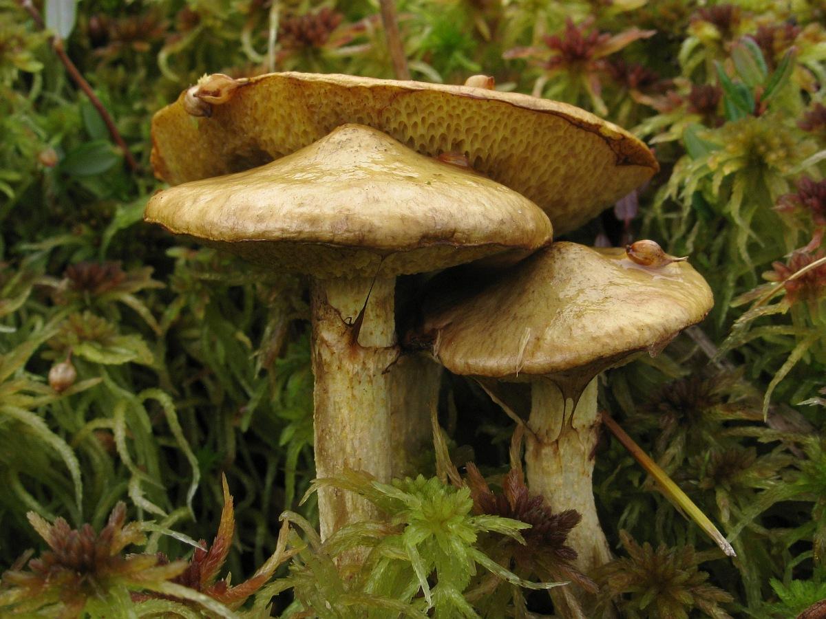Suillus flavidus. Автор фото:Салават Арсланов