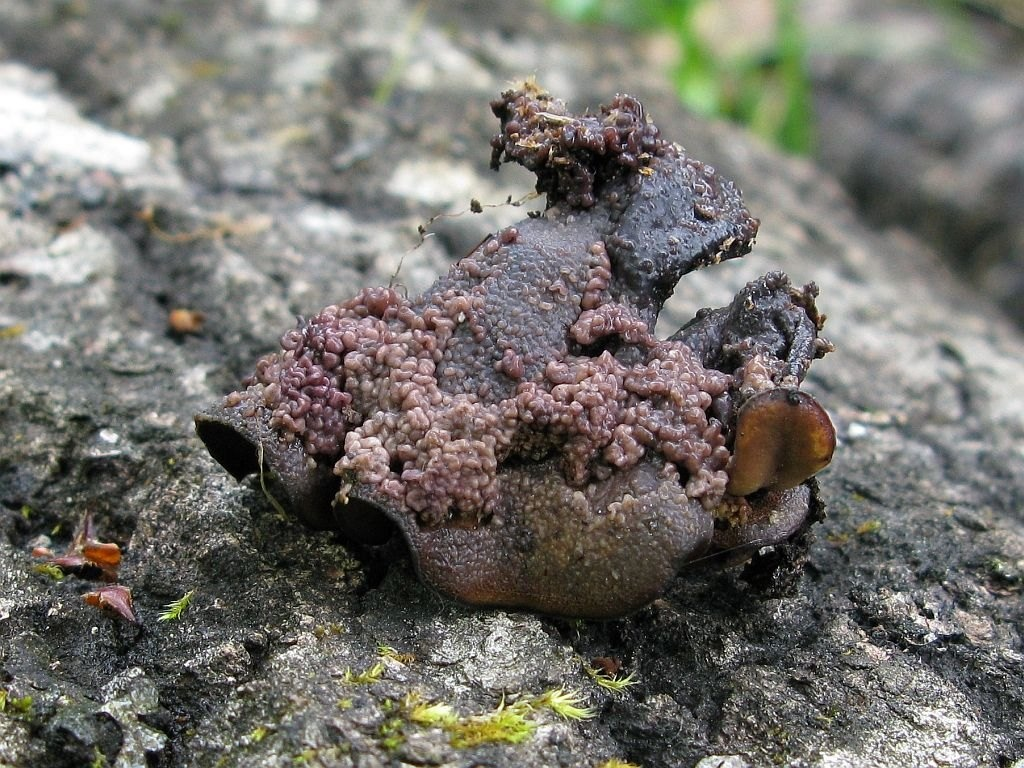 Tulasnella pinicola - Туласнелла сосновая. Автор фото: Салават Арсланов