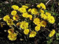 c:желтые,s:травянистые,i:многолетние,i:лекарственные,корневище длинное,s:розеточные,b:прямостоячий,l:очередные,l:простые,l:чешуйчатые,l:сидячие,l:черешковые,l:округлые,соцветия - корзинки,лепестков 7 и более,f:сухие,f:семянка