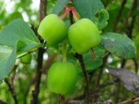 s:кустарнички,ягоды съедобные,h:до 50 см,i:лекарственные