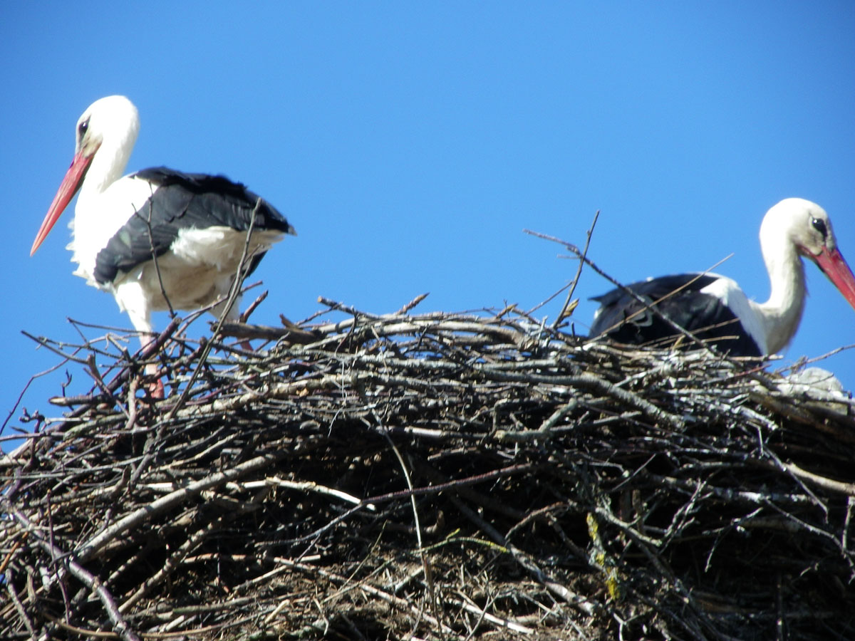 Белый аист (Ciconia ciconia). Автор фото: Анатолий Тарасов