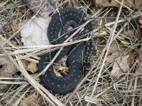 Гадюка обыкновенная (Vipera berus)Эстония