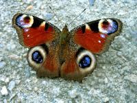 Бабочка - Павлиний глаз Inachis io. Автор фото: Валерий Афанасьев
