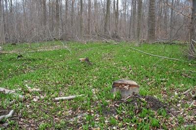 Черемша (Allium ursinum) Автор фото: Валерий Афанасьев