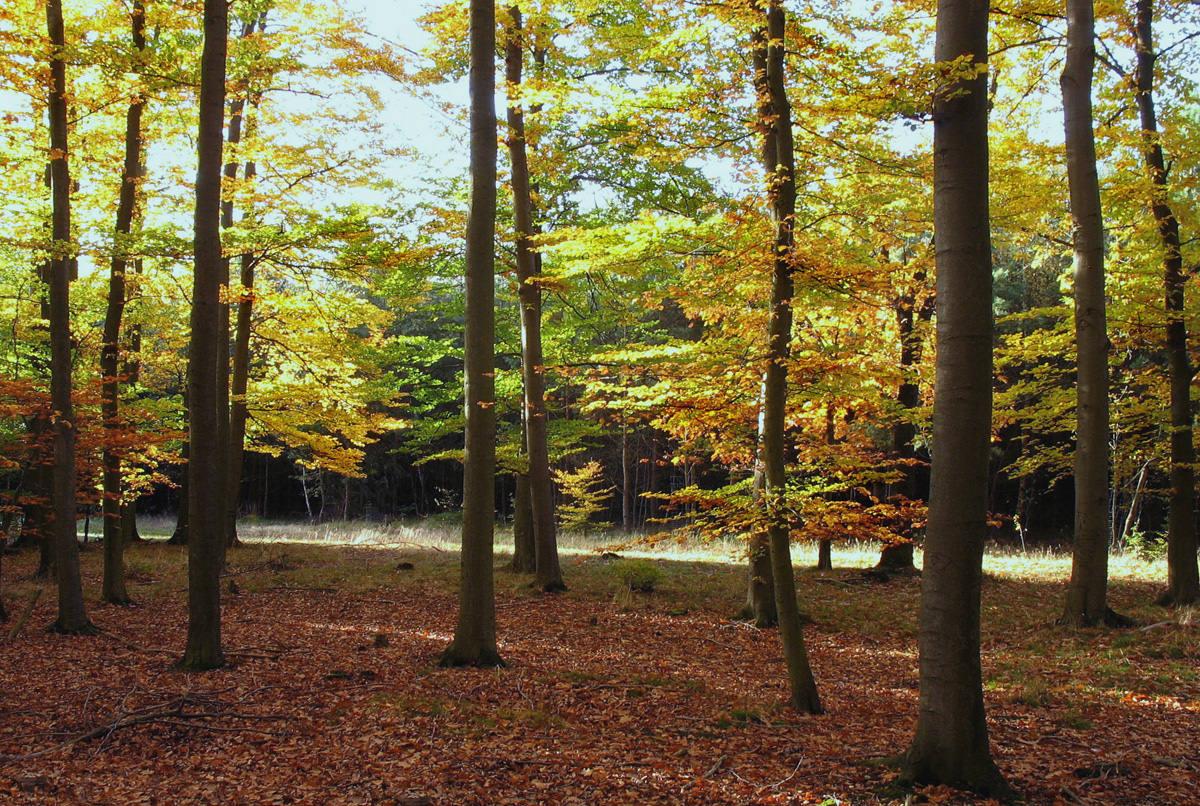 Буки в лесу. Автор фото: Валерий Афанасьев