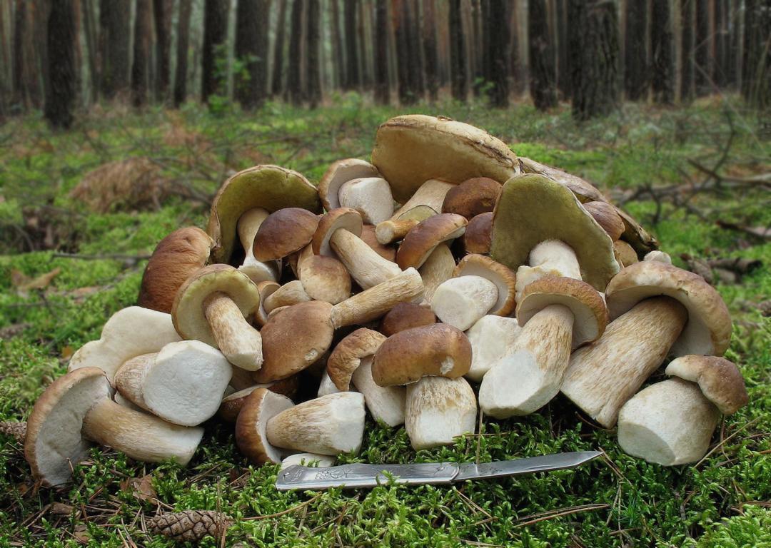 Лесной натюрморт Boletus edulis. Автор фото: Валерий Афанасьев