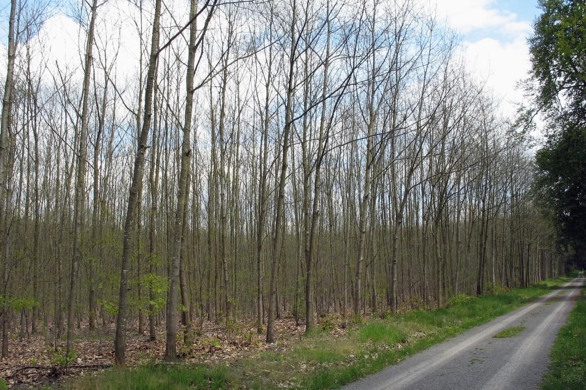 Дубовый лес пораженный майским жуком. Автор фото: Валерий Афанасьев