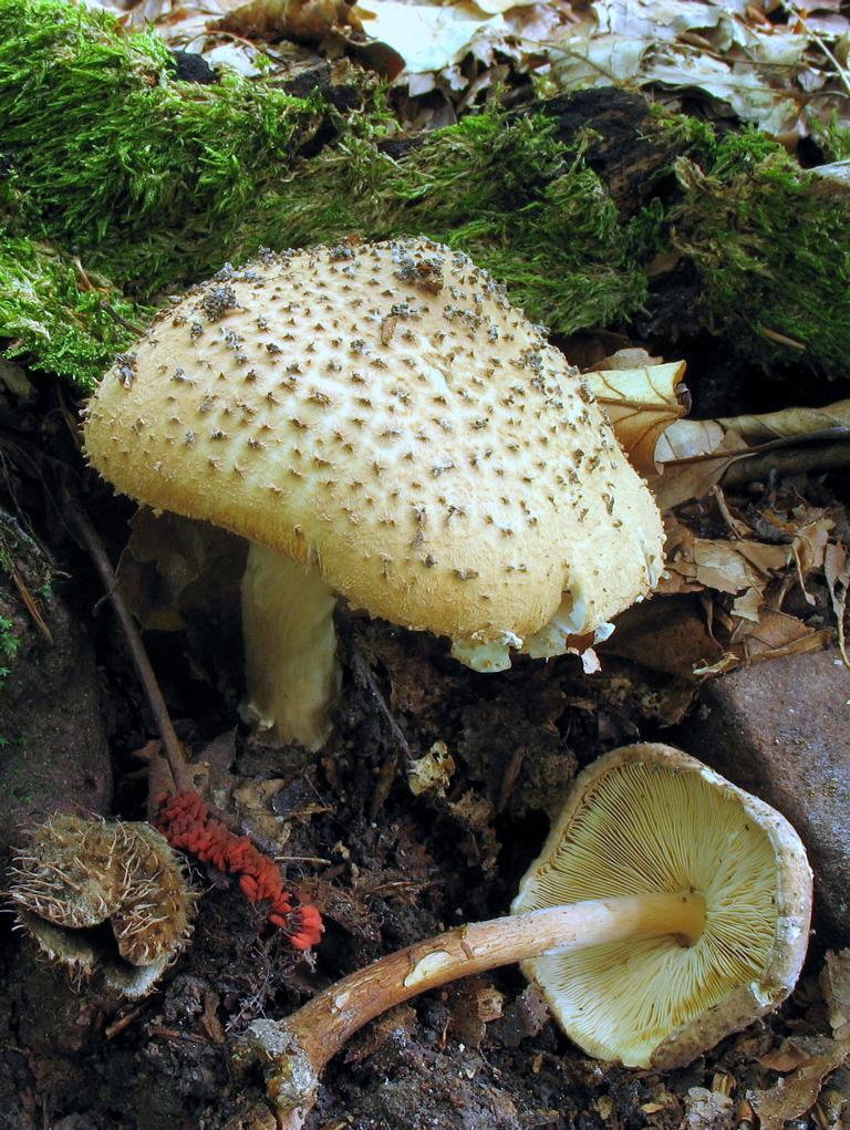 Echinoderma asperum. Автор фото: Валерий Афанасьев