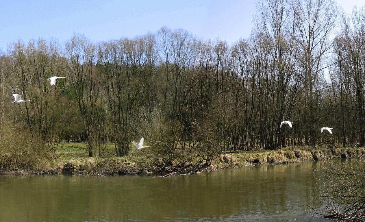 Лебеди весной. Автор фото: Валерий Афанасьев