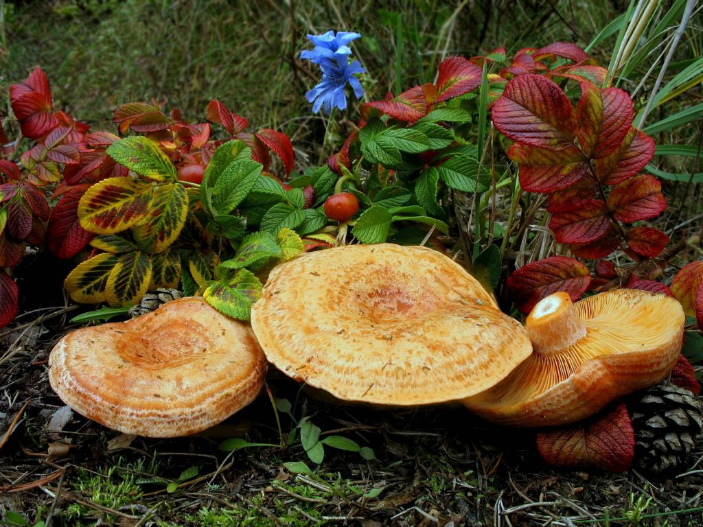 Lactarius deliciosus. Натюрморт с рыжиками. Автор фото: Валерий Афанасьев