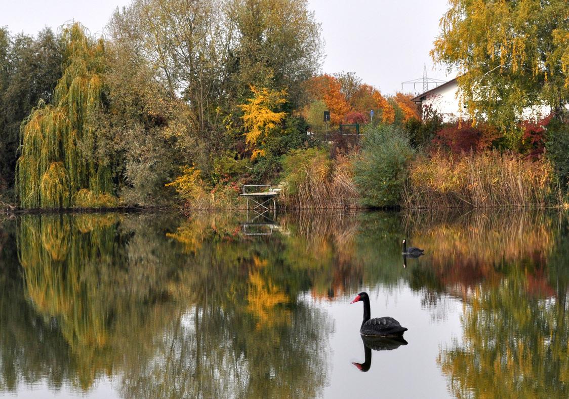 Чёрные лебеди. Автор фото: Валерий Афанасьев