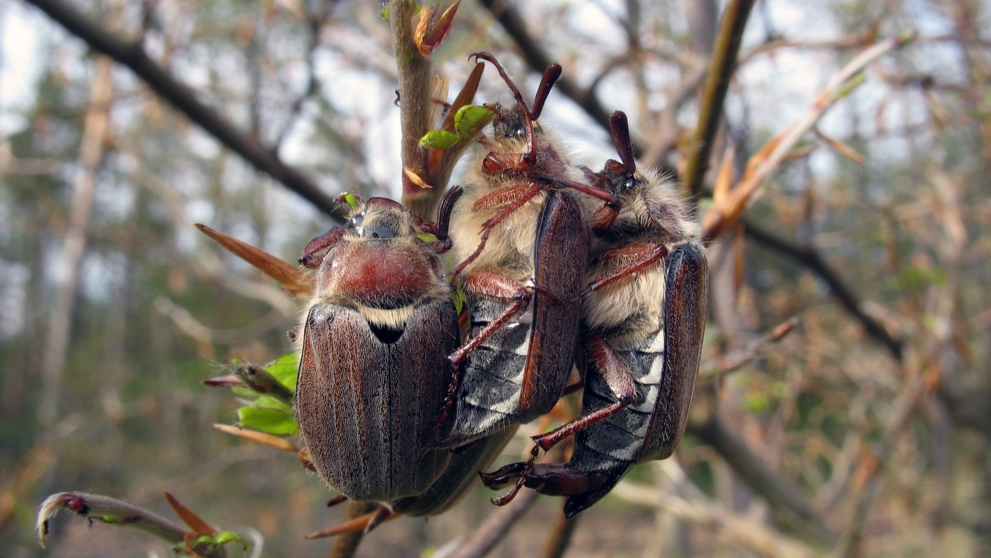 Майский жук (Melolontha hippocastani). Автор фото: Валерий Афанасьев
