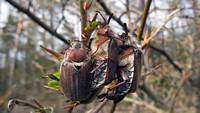 Майский жук (Melolontha hippocastani)