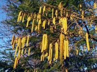 Орех лесной (Corylus)