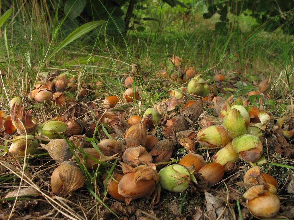 Орех лесной (Corylus). Автор фото: Валерий Афанасьев