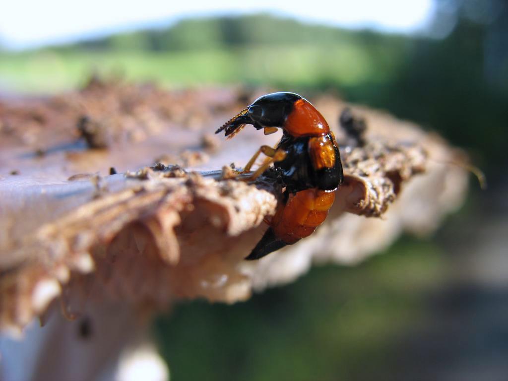 Жук (Oxyporus rufus) поедающий гриб . Автор фото: Валерий Афанасьев