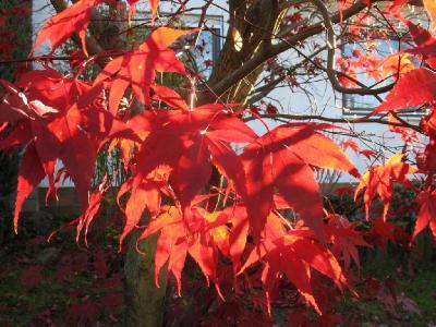 Конец ноября. Догорает пламя осени. Многие деревья уже сбросили листву, а ликвидамбар не торопится, хотя палитра его сейчас уже не так богата, как прежде. Автор фото: Валерий Афанасьев