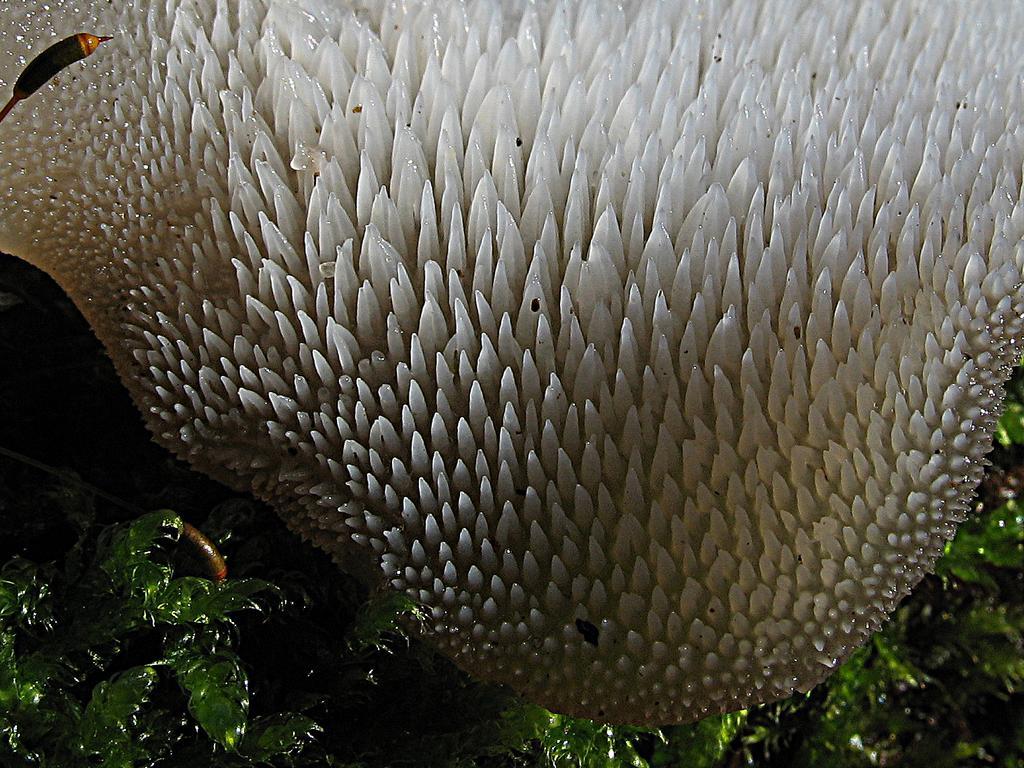 Pseudohydnum gelatinosum Автор фото: Валерий Афанасьев